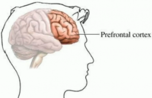 prefrontal cortex 300x193 Coaching The Stressed Out